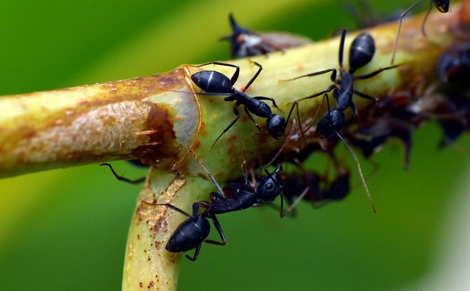 Ameisen biologisch bekämpfen