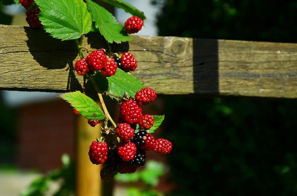 Beeren im Garten