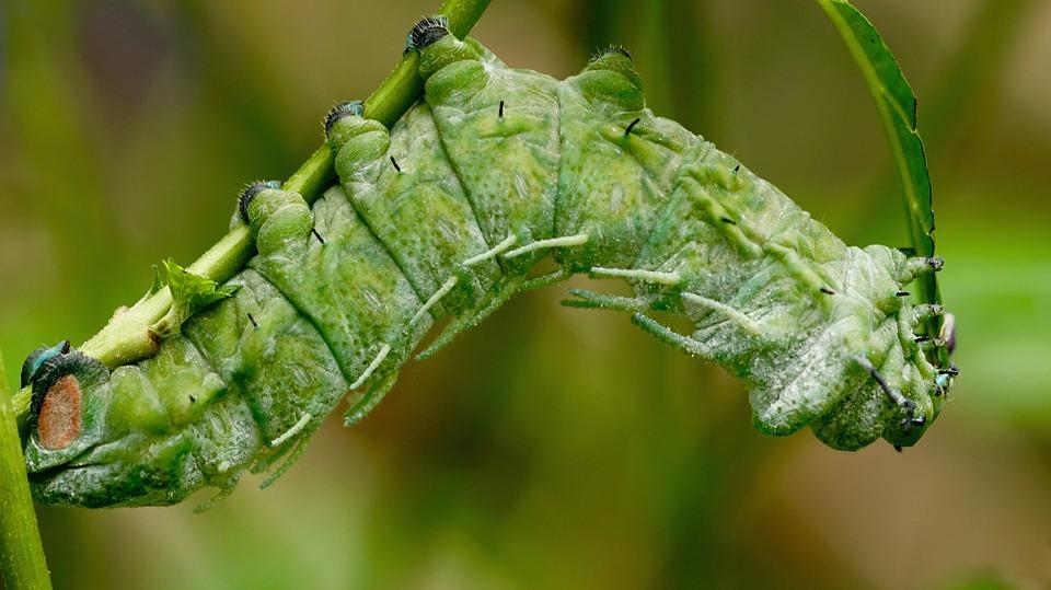 Raupen biologisch bekämpfen