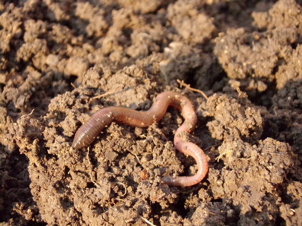 Regenwürmer in Wurmkompost