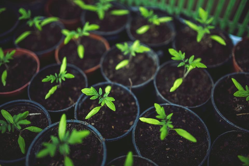 Tomatenpflanzen in guter Tomatenerde