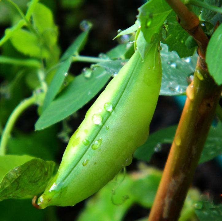 Bohnen und Erbsen Klettergemüse