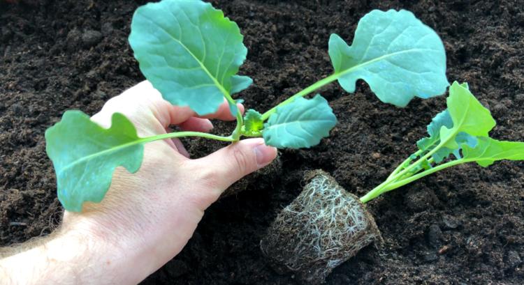 Brokkoli Jungpflanzen