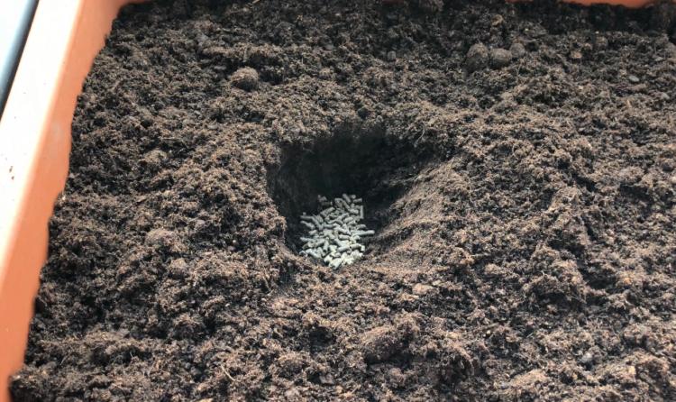 Brokkoli düngen Pflanzloch