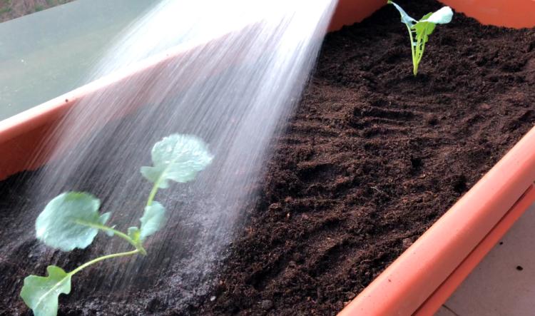 Brokkoli gießen