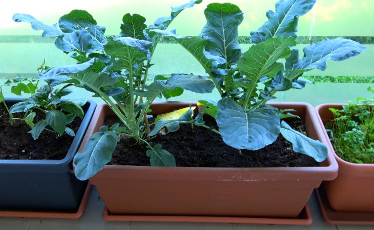 Brokkolipflanze 60 Tage nach auspflanzen