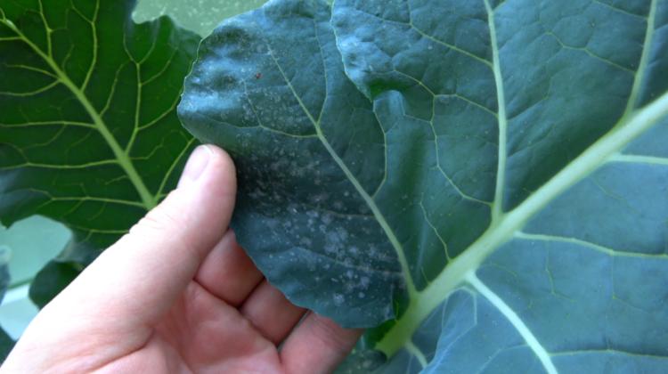 Mehltau an Brokkoli mit Backpulver vorbeugen