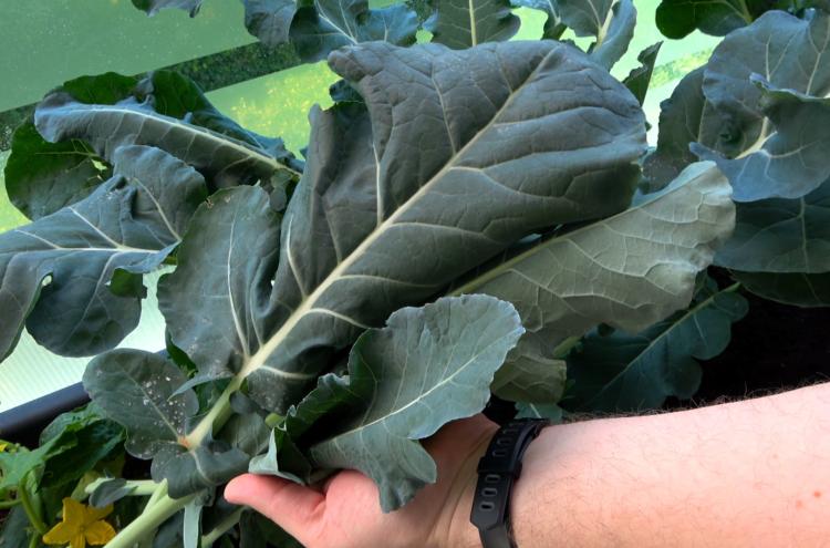 Brokkoli Blätter für Smoothie