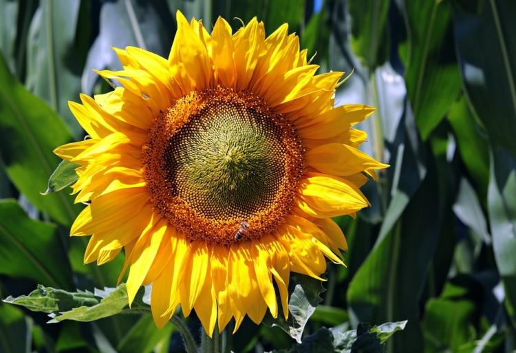 Sonnenblumen anbauen und pflanzen