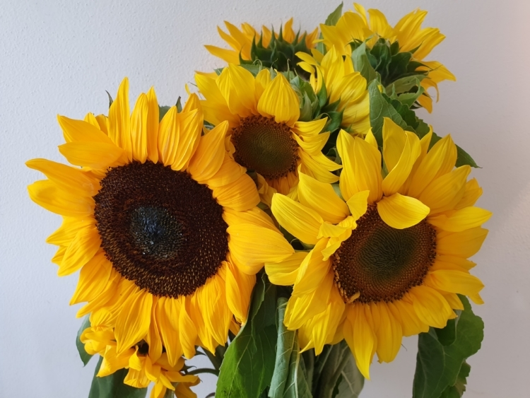 Topfsonnenblume Sonnenblume Pacino