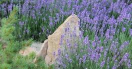 Lavendel Kräutergarten Kräuter zum Inhalieren