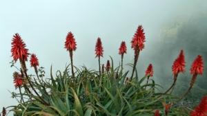Aloe vera Boden