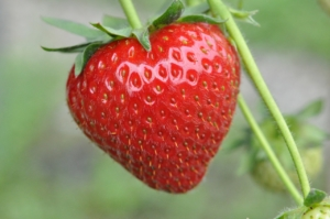 Foliengewächshaus Erdbeere