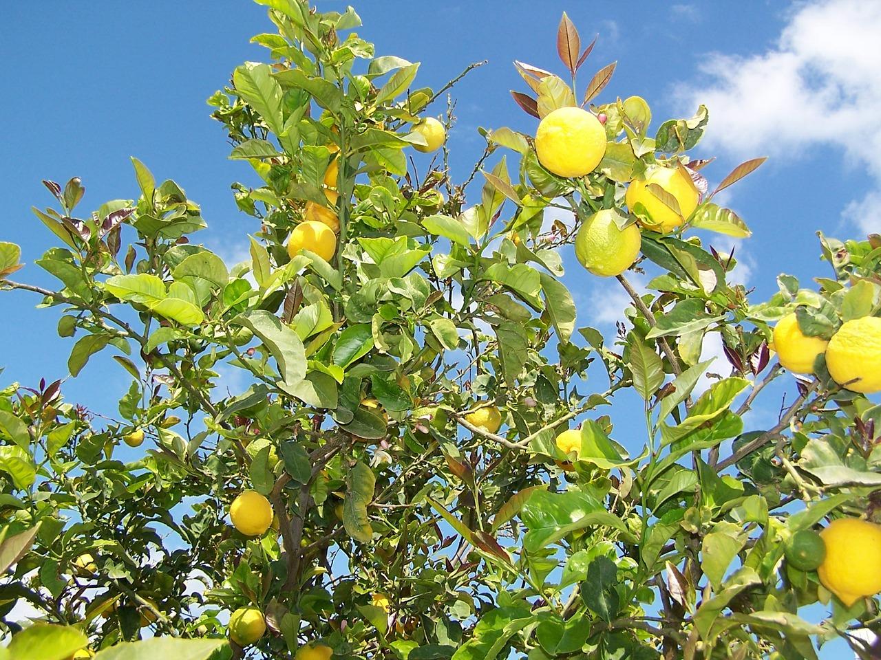 Zitronenbaum Titel