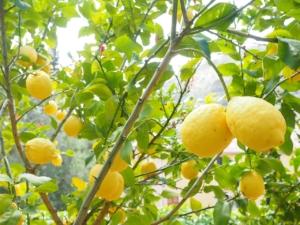 Zitronenbaum hell