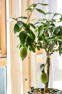 Zitronenbaum grün