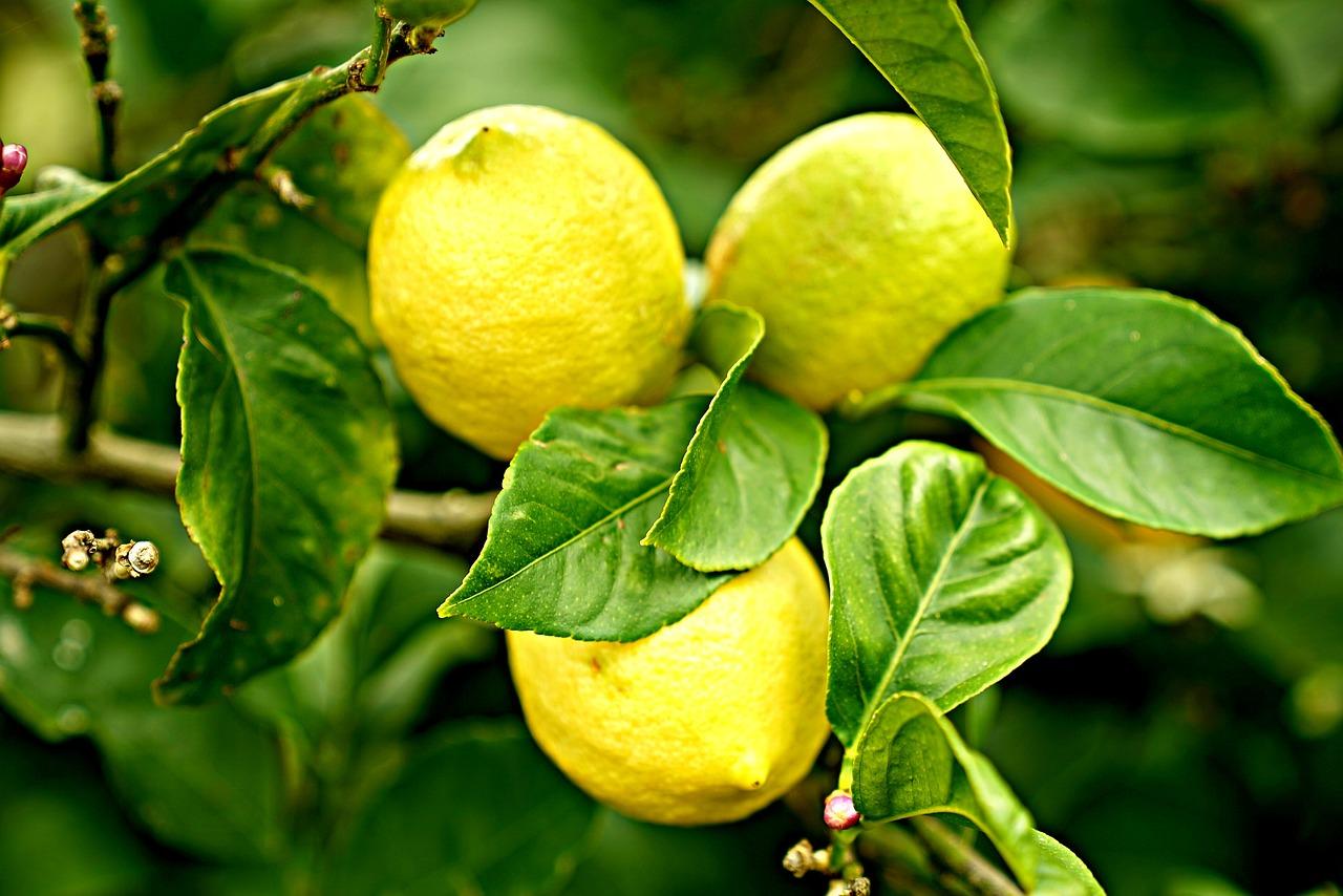Zitronenbaum beitragsbild
