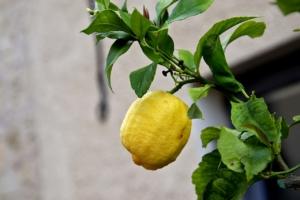 Zitronenbaum einzeln