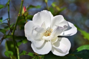 rose weiss