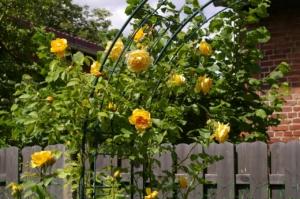 rosenspalier gelb